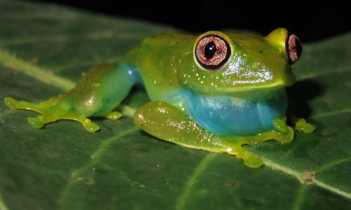 Leptopelis barbouri. Two months of surveys, and this is still the only treefrog I've seen here :-/
